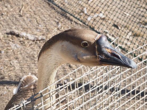 This goose gave Dan a love bite!